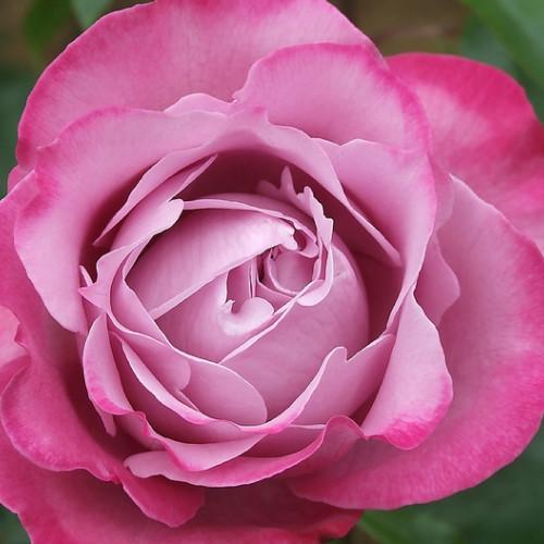 Роза Амандо блю