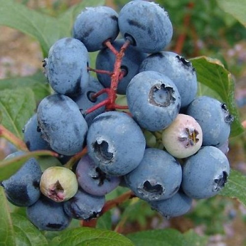 Голубика Блюкроп 'Bluecrop'