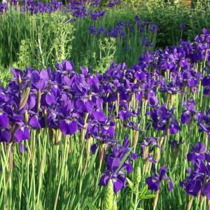 Ирис сибирский 'Iris'