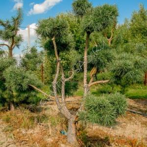 Cосна обыкновенная 'Pinus silvestris'