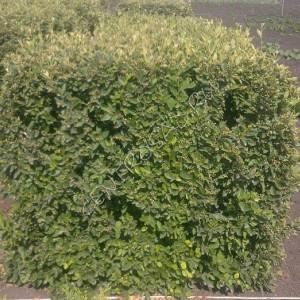 Кизильник блестящий 'Cotoneaster lucidus'