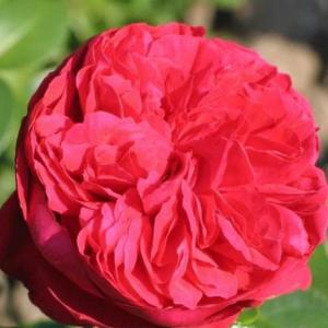Роза Эрик Тамберли