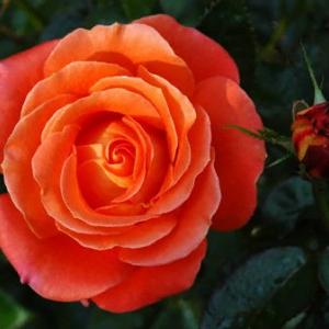 Плетистая роза Супер Стар