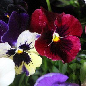виола виттрока   Viola  wittrokiana